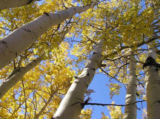 Aspens in a XERISCAPE landscape by Waterwise Design in Kelowna